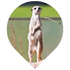 Creating Awareness Meerkat image