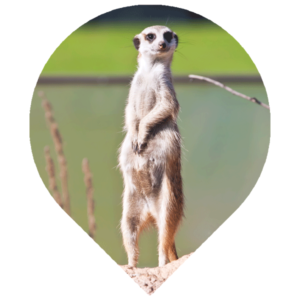 Creating Awareness Meerkat image